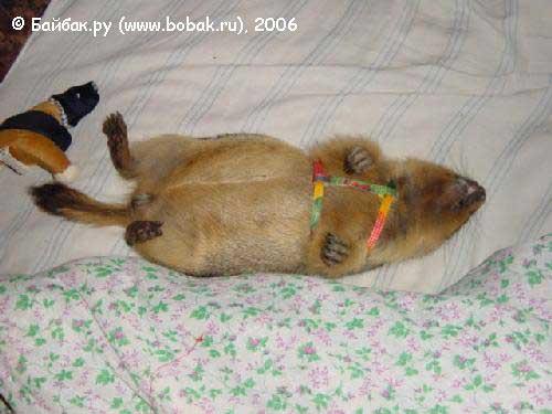 Красивую открытку, прикольные картинки сурков спящих